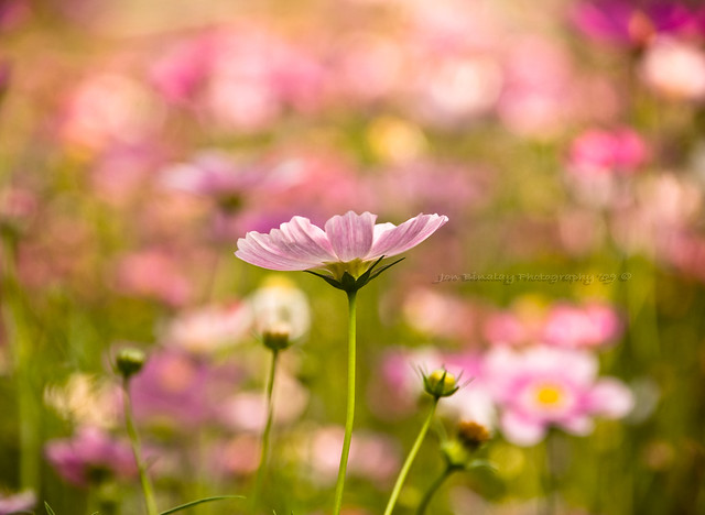 Pink Magic - Beautiful Bokeh Photography