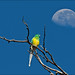 Red-rumped Parrot and the moon