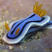 Nudibranch (Chromodoris lochi)