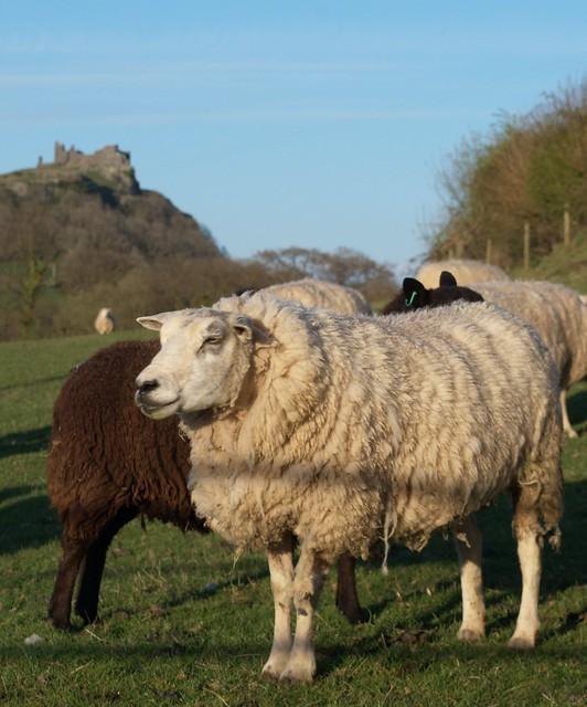 Carreg Cennen Castle Sheep 2