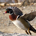 Wood Duck by sklachkov