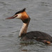 Great Crested Grebe - Photo (c) Eric de Leeuw, some rights reserved (CC BY-NC-ND)