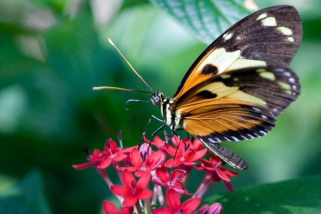Tiger Longwing Butterfly Heliconius Ismenius Butterfly S Flickr Photo Sharing