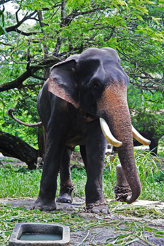 Flickr: The Elephants of Kerala Pool