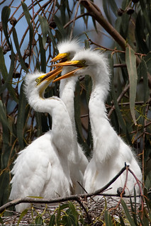 3 of 6 Great Egret (Ardea alba) nest with three chicks at the Morro Bay Heron Rookery