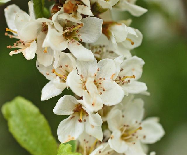 Prunus domestica ssp. insititia (Bullace) - 11 - flowers