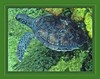 "<a href=""http://www.flickr.com/photos/turtlemom_nancy/5753058639/"">Photo of Chelonia mydas by turtlemom4bacon</a>"