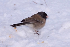 animal, sparrow, winter, wing, snow, fauna, finch, junco, emberizidae, beak, bird, wildlife,
