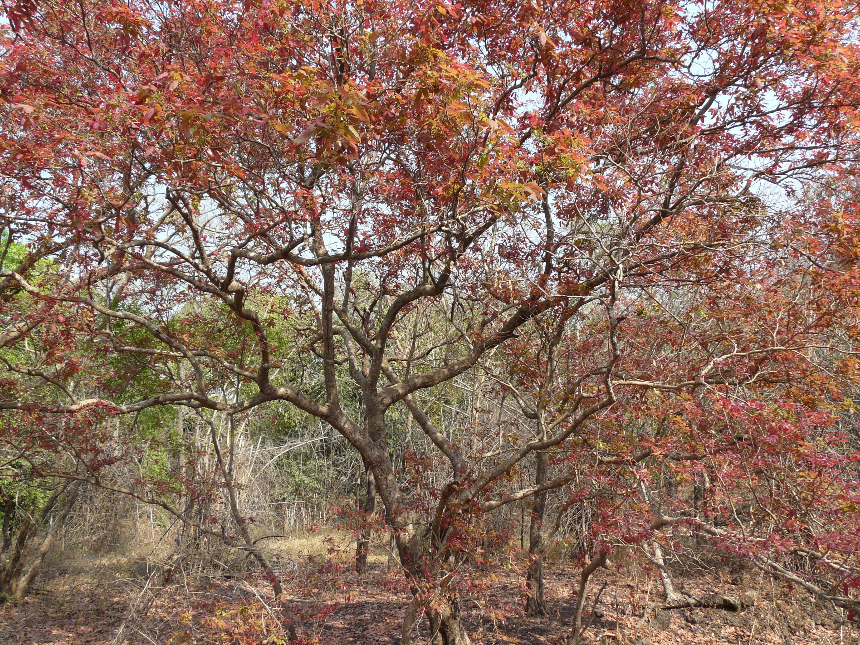 Kumpatiri (Tamil: கும்பாதிரி) | Flickr - Photo Sharing!