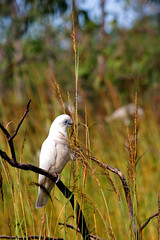 Little Corella at Knuckeys Lagoon