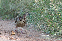 snipe(0.0), animal(1.0), prairie(1.0), fauna(1.0), ruffed grouse(1.0), bird(1.0), galliformes(1.0), wildlife(1.0),