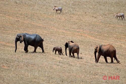 elephant game nikon kenya reserve safari soe tsavo supershot d80 mywinners abigfave platinumphoto impressedbeauty flickrdiamond vosplusbellesphotos