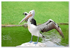 animal, pelican, fauna, beak, bird, seabird,