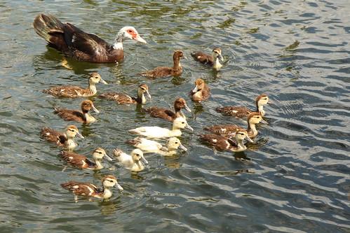 lake water swimming geese texas goslings conroe canonefs1755mmf28isusm waldenmarina