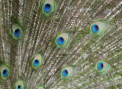 animal(0.0), peafowl(0.0), fauna(0.0), bird(0.0), feather(1.0), green(1.0), close-up(1.0),