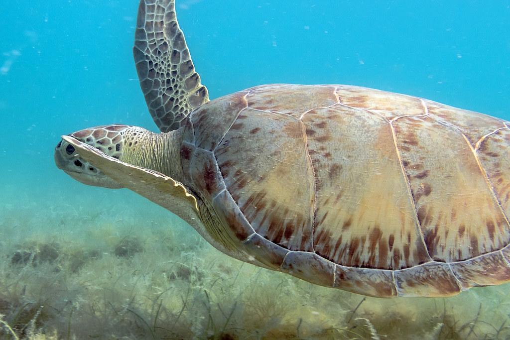 Maho turtle
