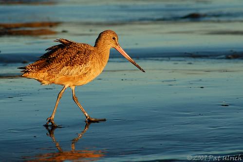 birds d50 morninglight wildlife birding nikond50 halfmoonbay pacificcoast strutting marbledgodwit shorebird pillarpointharbor limosafedoa atsunrise ©patulrich