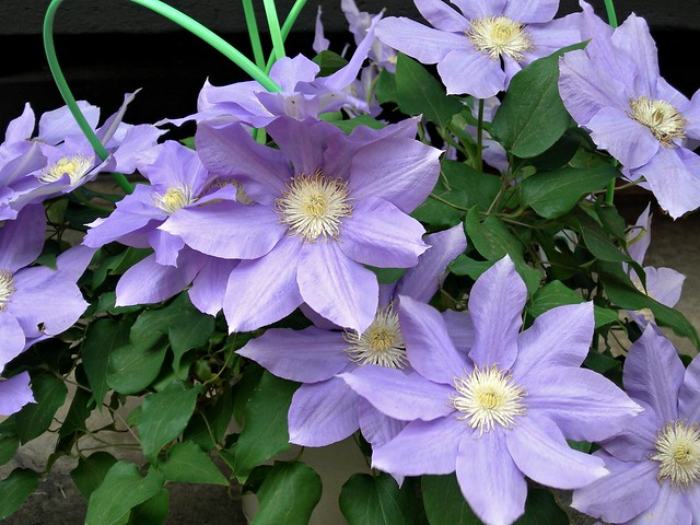 Flowers in Takayama