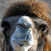 The Happier Bactrian Camel