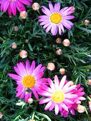 aster, annual plant, flower, plant, marguerite daisy, daisy, flora, daisy, petal,