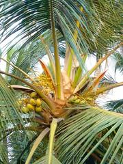 date palm(0.0), borassus flabellifer(0.0), flower(0.0), plant(0.0), produce(0.0), food(0.0), saw palmetto(0.0), crop(0.0), arecales(1.0), coconut(1.0), leaf(1.0), tree(1.0), fruit(1.0), elaeis(1.0),