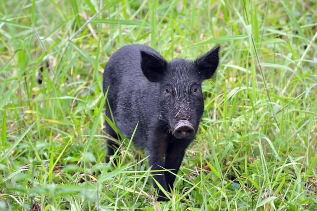 Feral Pig (Sus scrofa) Juvenile DSC_0041 | Flickr - Photo Sharing!