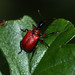 Small photo of Apoderus coryli - Leaf Roller Weevil