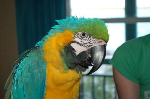 Macaw Chayko