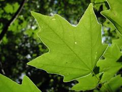 deciduous(0.0), shrub(0.0), flower(0.0), grass(0.0), tree(0.0), autumn(0.0), branch(1.0), leaf(1.0), plant(1.0), nature(1.0), macro photography(1.0), flora(1.0), green(1.0), plant stem(1.0), maple leaf(1.0),