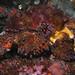 King Crab Underwater Pudget Sound King Crab