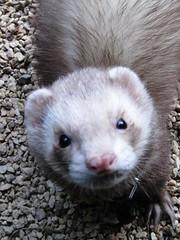 mink(0.0), animal(1.0), weasel(1.0), mustelidae(1.0), fauna(1.0), marten(1.0), polecat(1.0), carnivoran(1.0), whiskers(1.0), black footed ferret(1.0), ferret(1.0),