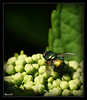 Green bottle fly by Storm_XL