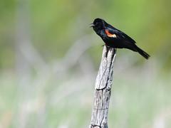 Carouge à épaulettes (mâle) - Agelaius phoeniceus - Red-winged Blackbird (male) DSC_7224f