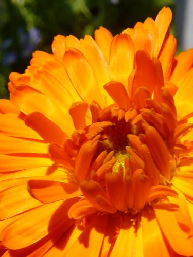 Aromaterapia: oleolito di calendula officinalis