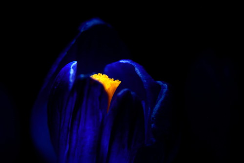 Blue magic with orange heart (crocus)