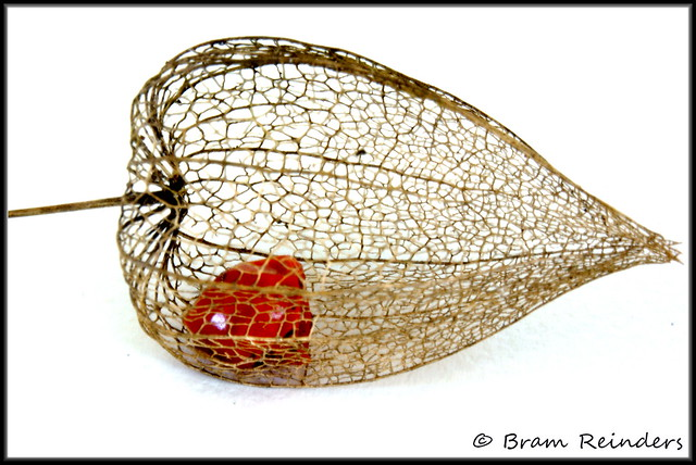 physalis alkekengi de chinese lampion trapped inside. Black Bedroom Furniture Sets. Home Design Ideas