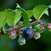Evergreen Huckleberry - Photo (c) James Gaither, some rights reserved (CC BY-NC-ND)