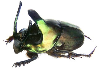 Onthophagus mouhoti Harold, 1875 male Syn.: Proagoderus mouhoti Harold, 1875