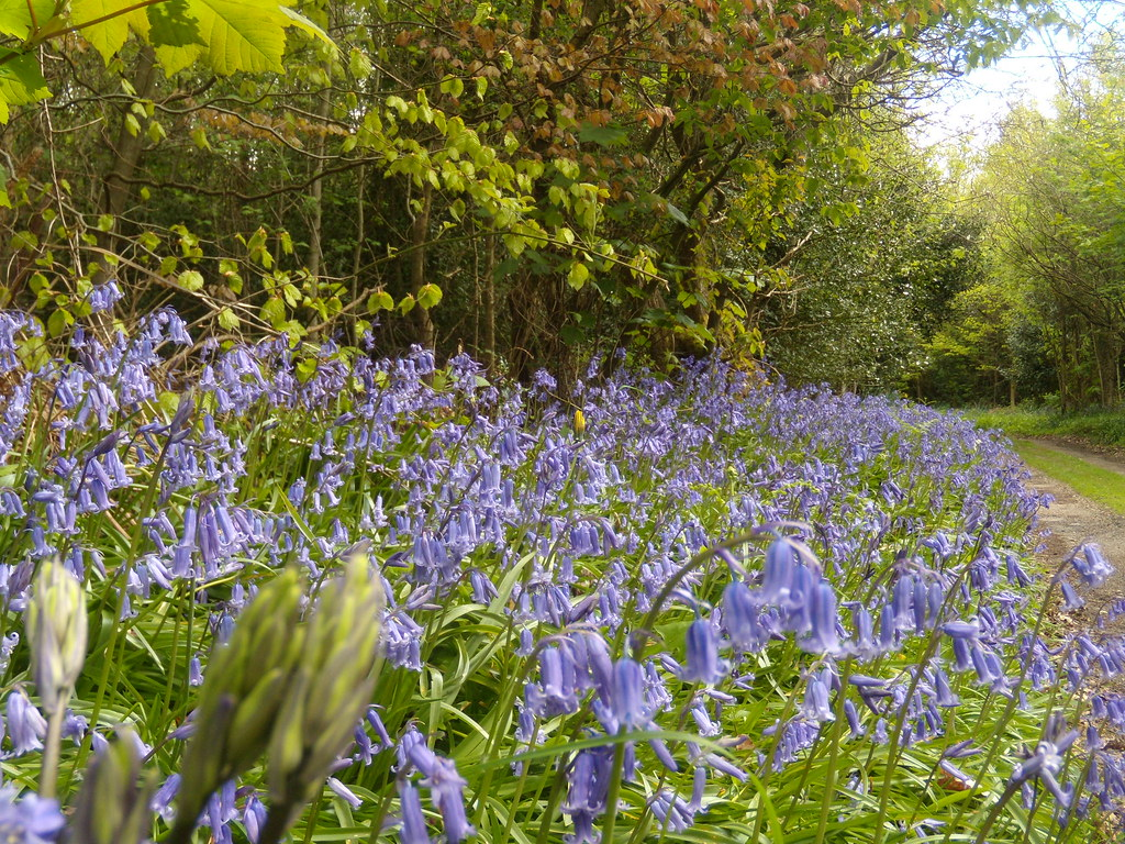 Bluebells 5 Hurst Green to Chiddingstone Causeway
