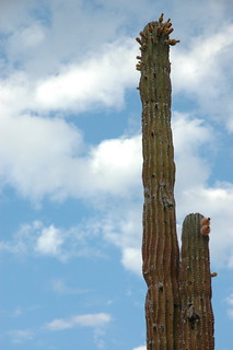 Cactus Fruits with clouds, Centanario, Baja California Sur, Mexico 0794