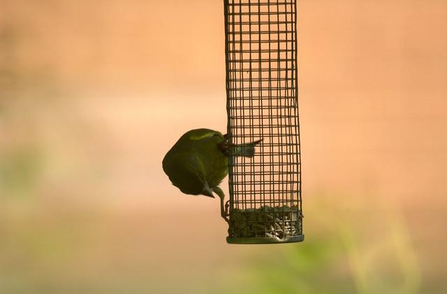 Green finch?