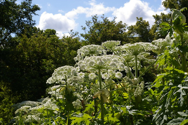 Giant hogweed and bees