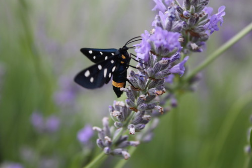 Syntomis Phegea - enjoying the lavender
