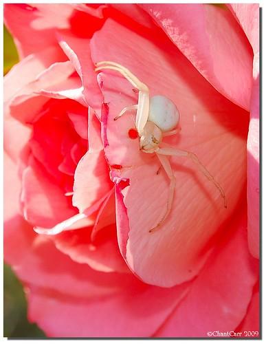 tomise - araignée blanche ou araignée crabe