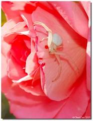 tomise - araignée blanche ou araignée crabe - Photo of Sainte-Hélène