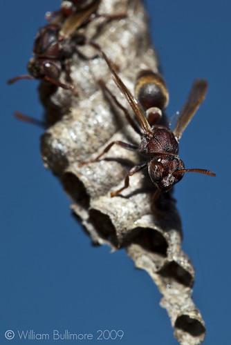 macro insect wasp au australia brisbane queensland hive