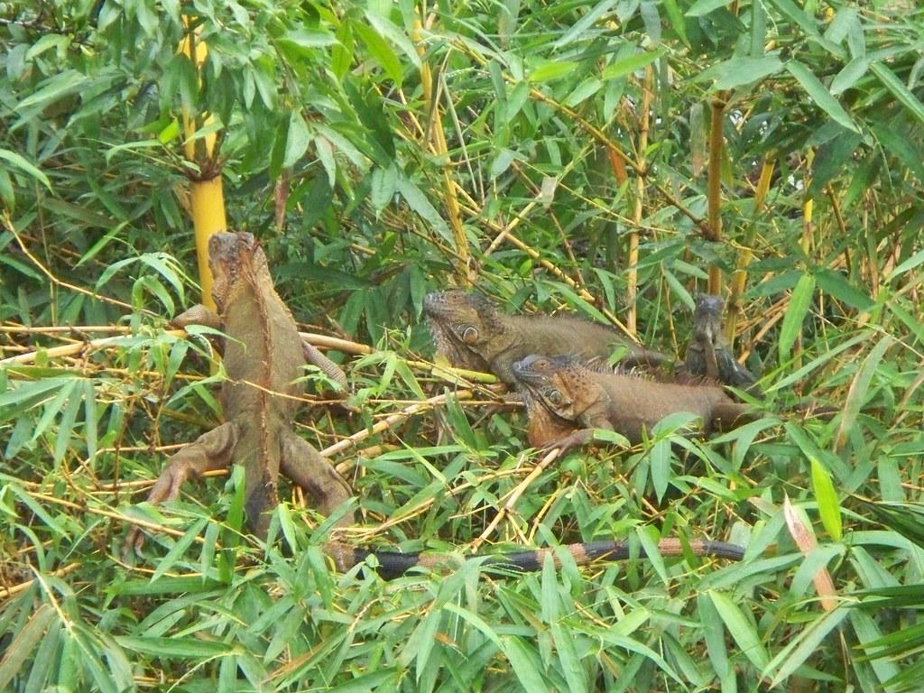Iguanas - La Fortuna, Costa Rica
