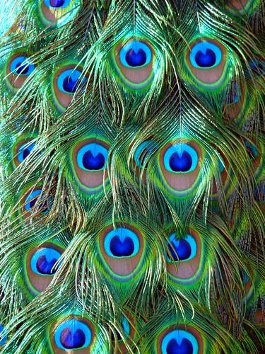 Piume di pavone a photo on flickriver - Immagini pavone a colori ...