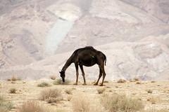 A Tunisian Camel