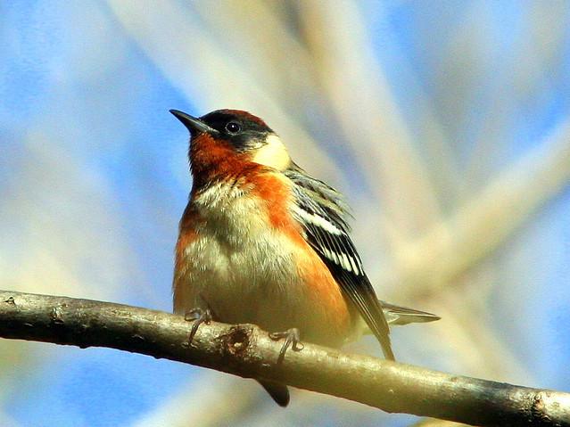 Bay-breasted Warbler 20090502